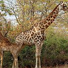 BACK TO BACK, MOTHER AND CHILD IN THE WILD ! by Magriet Meintjes