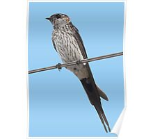 Red-Rumped Swallow Vector Isolated Against Blue Poster