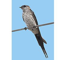 Red-Rumped Swallow Vector Isolated Against Blue Photographic Print