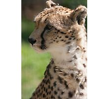 cheetah in the jungle Photographic Print