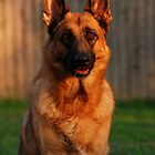 German Shepherd at Sunset by AngieM