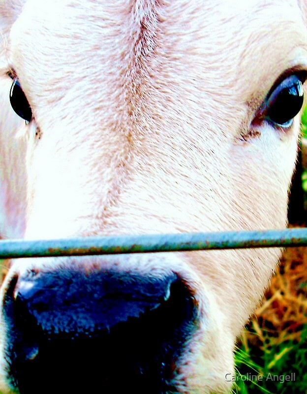 Calf up Close by Caroline Angell