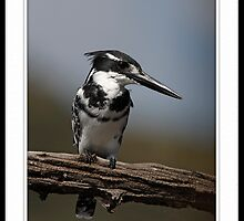 Pied Kingfisher by quebe150