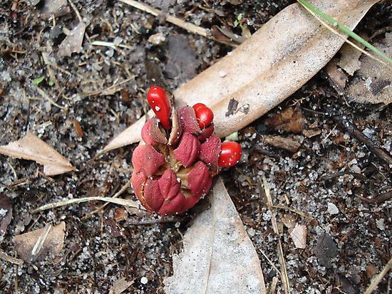 Sweet Bay Seed Pod by May Lattanzio