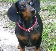 BLUEYE THE DAPPLED WEINER by netcybergirl