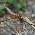 Dragon Fly by Nick McGuire