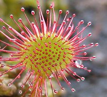Sundew at last..... by Michael Oubridge