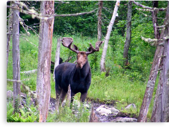 Bull Moose by Judith Hayes