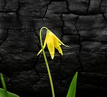 Glacier Lilly by Christopher Barker