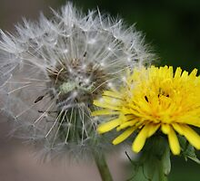 Difference in dandelions by StephLanfear