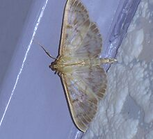 Profile of a Mother of Pearl Moth by Sharon Perrett