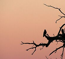 Silhouette of a bird of prey by adamisalive