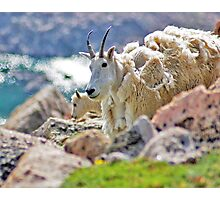 Casual Mountain Goats  Photographic Print