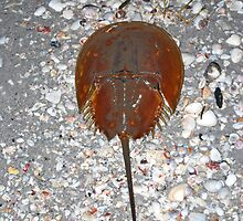 Horseshoe Crab on Shell Bed by A.E. Henderson