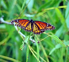 Viceroy butterfly by ClintDMc