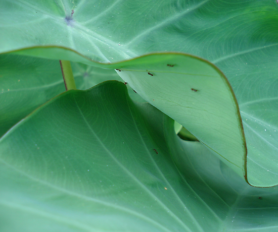 Elephant ears with ants by May Lattanzio