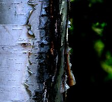 Peeling White Birch Bark by Craig B