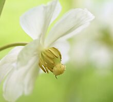 Mayapple Wildflower - Podophyllum peltatum by MotherNature