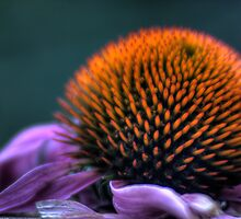 Purple Cone Flower by Richard Fosness