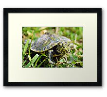 Baby Painted Turtle Framed Print