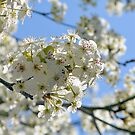 Callery Pear Blooms by ©Dawne M. Dunton