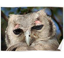 GIANT or Verreaux Eagle Owl -  Bubo lacteus Poster