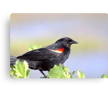 Red Winged Black Bird Canvas Print