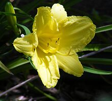 Yello Lilly by barnsis