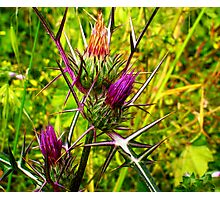 Thistles in full bloom Photographic Print