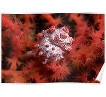 Hippocampus bargibanti pygmy seahorse in its host Gorgonian sea fan Poster