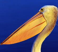 """ Last evening light Pelican ""   Marlo Australia by helmutk"