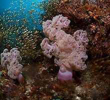 Bronze Sweepers flood over pink soft corals in Komodo National Park by Hergen Spalink