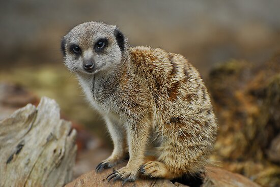 Meerkat by randmphotos
