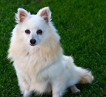 American Eskimo Dog 3 by David Chappell