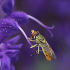 Hover Fly at Rest by Sheryl Hopkins