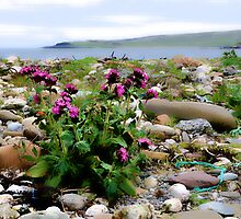 Red Campion at Hoswick by Richard Ion