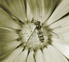 Hover Fly by maxblack