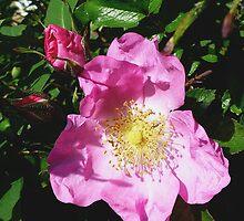 The Hollies Pink by Vanessa  Warren