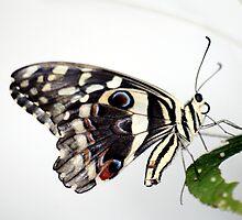 Lime Butterfly by Wayne Gerard Trotman