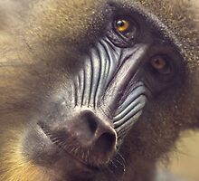 Mandrill staring contest by alan shapiro
