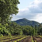 Yountville Vineyards by Doty