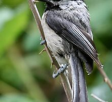 Black-Capped Chickadee Poised to Leap by Wolf Read
