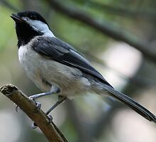 Black-Capped Chickadee With Open Beak by Wolf Read