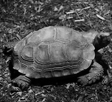 Asian Brown Tortoise in Black and White by Alyce Taylor