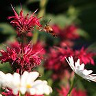 Hummingbird Moth and Bee Balm by Paul Kavsak
