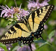 Eastern Tiger Swallowtail by Marija