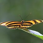Tiger Longwing by Jeff VanDyke