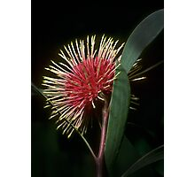 Hakea Laurinea flower in our back garden 19880511 0003 Photographic Print