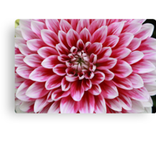 Dahlia, Pink and White Canvas Print