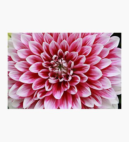 Dahlia, Pink and White Photographic Print
